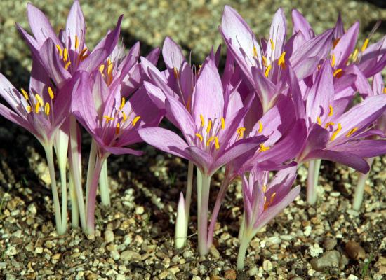 fare molta attenzione a raccogliere erbe e fiori, al mortale Colchicum autunnale
