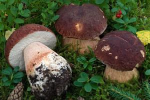 i funghi boletus