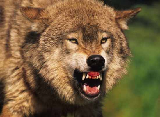 Allevamenti assediati dai lupi e dagli animalisti. In Toscana oltre 500 attacchi all'anno.
