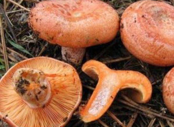 Funghi rositi (lactarius deliciosus), dove e quando trovarli e come prepararli