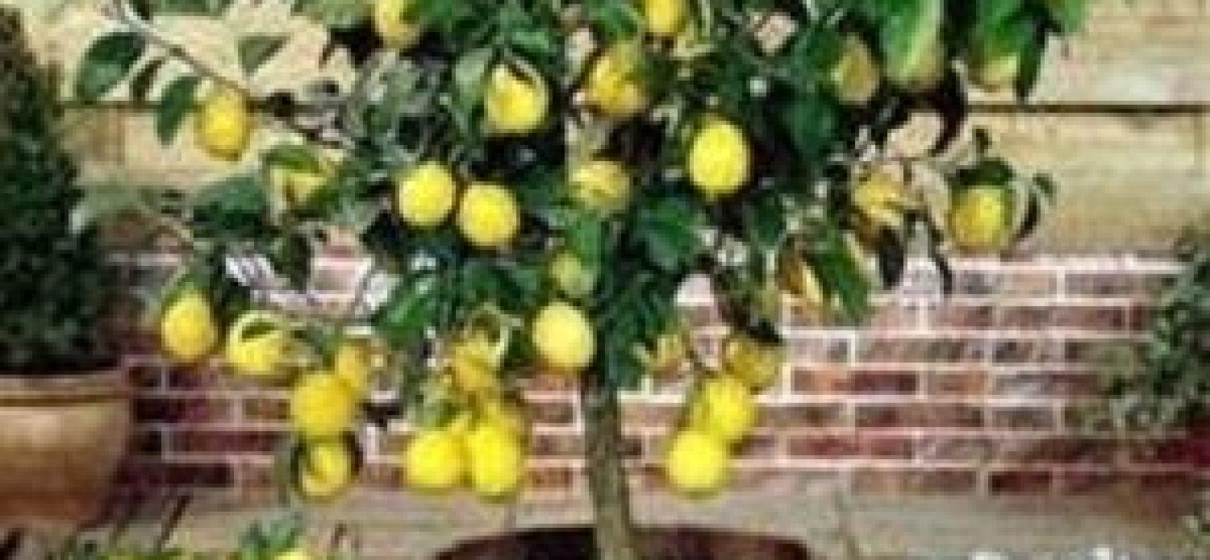 Come coltivare una pianta di limone verde azzurro notizie - Quand cueillir les citrons ...