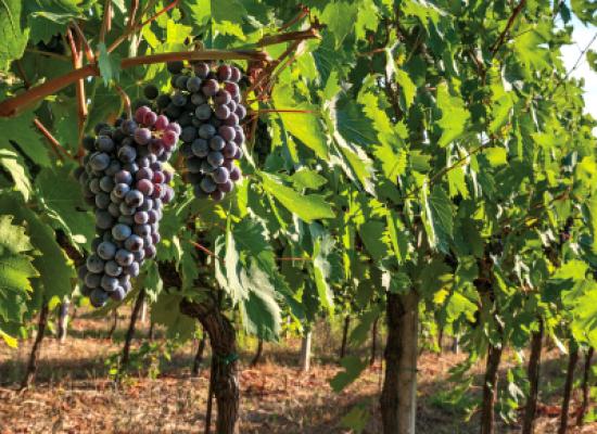 Viticoltura toscana. Reimpianto vigneti: in arrivo 2 milioni di euro in più