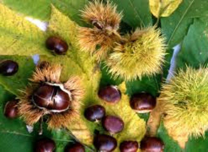 il raccolto di castagne segna nel 2017 un calo considerevole del 40%