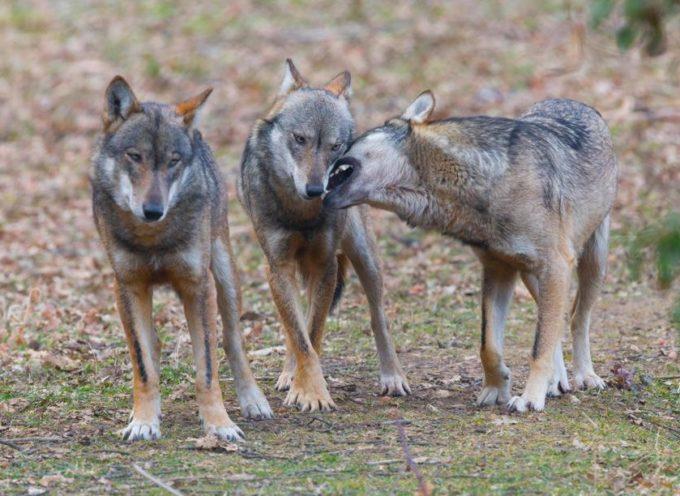 immagini incredibili, branco di lupi assalta un cinghiale, furiosa battaglia nella notte per la vita – VIDEO