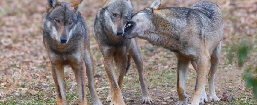 """Gli agricoltori toscani: """"Sia autorizzata la legittima difesa contro lupi e cinghiali"""""""