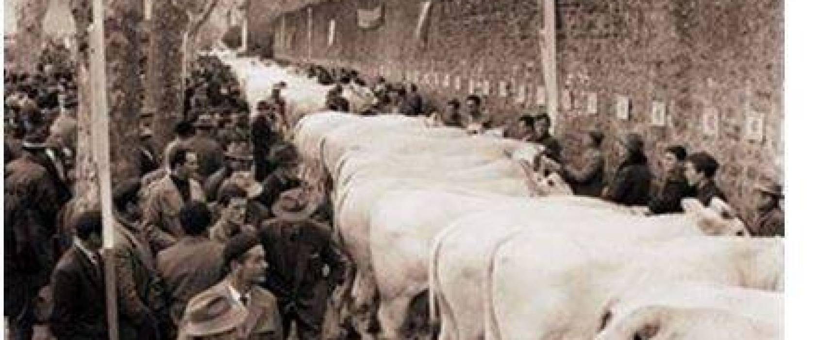 Le Fiere d'Autunno riempivano ogni Foro Boario di grandi bovini bianchi..