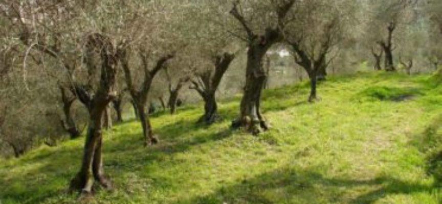 Oliveto tagliato senza autorizzazione, intervengono i forestali