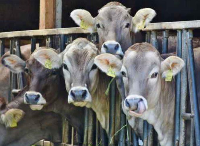 le Razze bovine da latte: le migliori per quantità e qualità di produzione