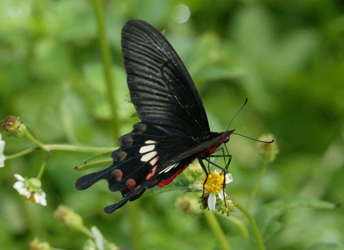 Le ali delle farfalle aumentano l'efficienza dei pannelli fotovoltaici