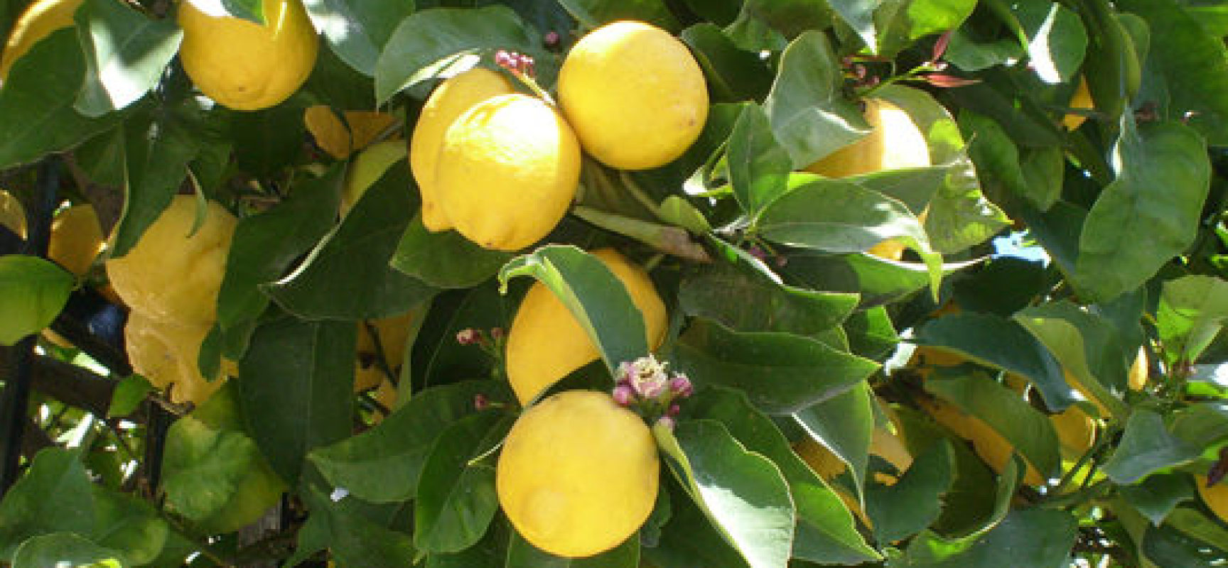 Pianta di limoni in vaso perfect calamondino with pianta for Limoni in vaso