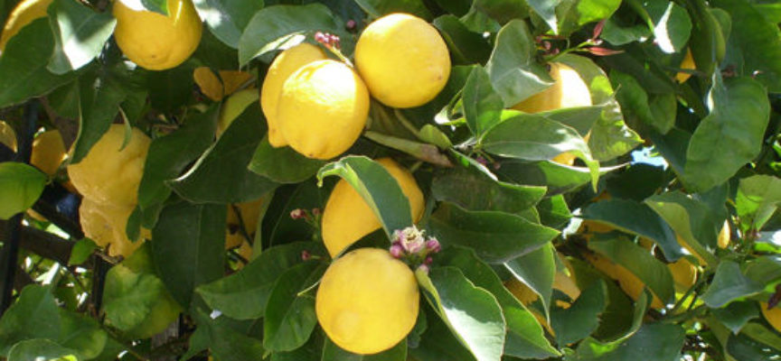 Come coltivare una pianta di limone in vaso verde for Pianta di limoni in vaso