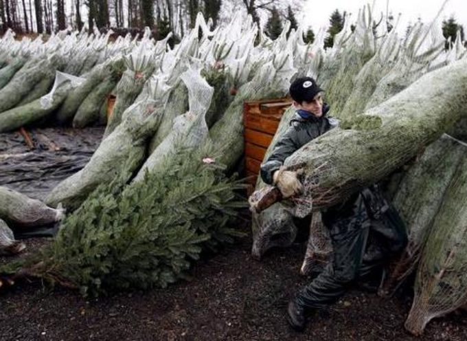 """""""A Natale scegliere alberi veri, fanno bene alla nostra salute e all'ambiente"""""""