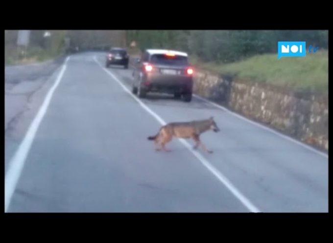 E' un lupo che attraversa la strada a Pontecosi? Ecco il video