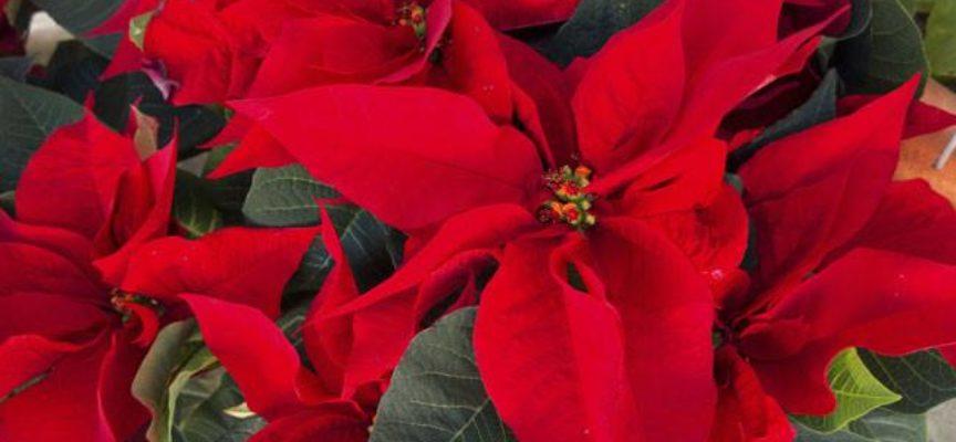 Regala Una Stella Di Natale Verde Azzurro Notizie