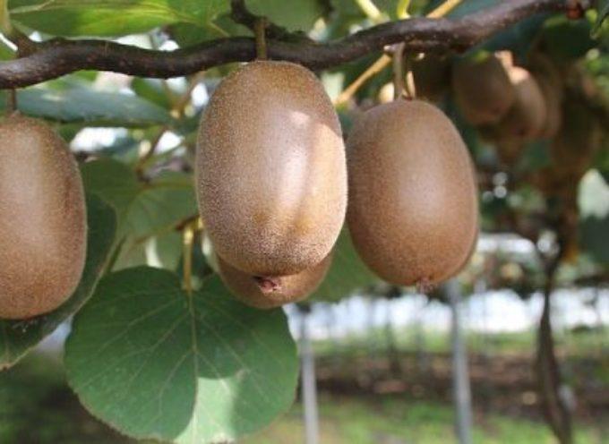 Coltivazione del kiwi: dall'identificazione del sesso alla potatura