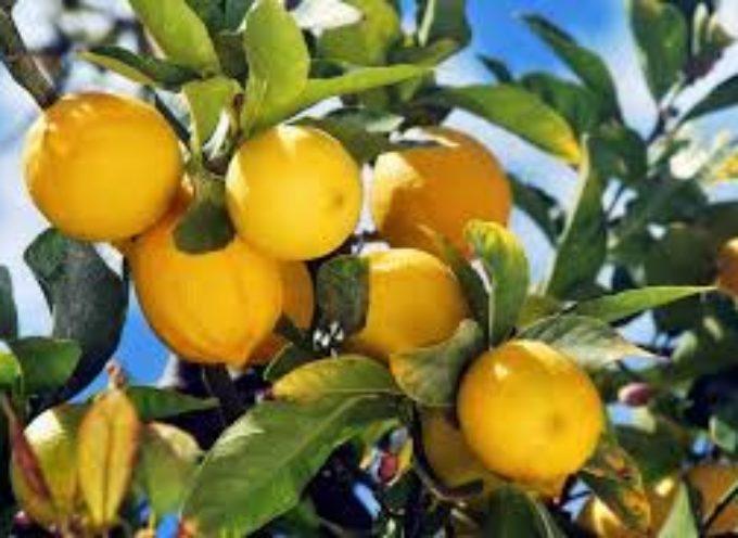 il Limone: quando e come effettuare la potatura
