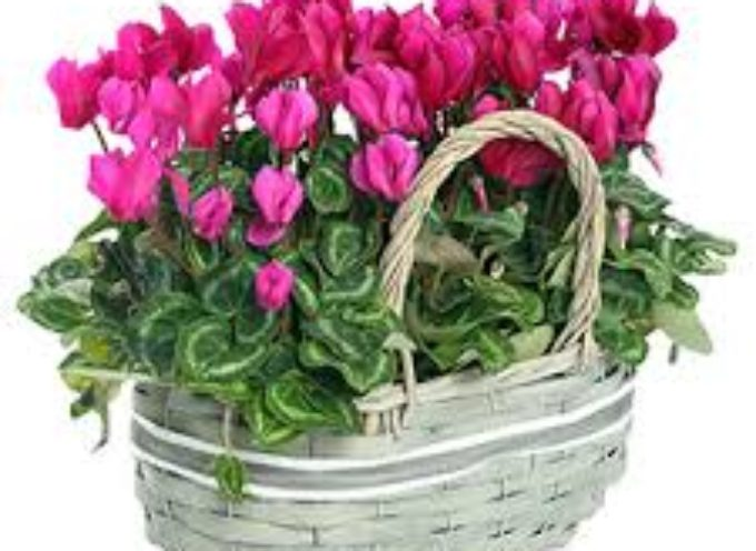 il ciclamino, come coltivarlo in giardino e in vaso