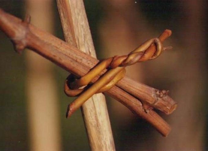 la legatura della vite con il salice.. una tradizione dimenticata