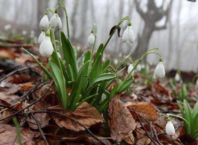 """Il Bucaneve ( Galanthus nivalis), un tempo era chiamato """"Fiore di Febbraio"""""""