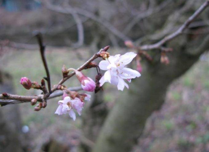 Fioriture invernali: Prunus x subhirtella 'Autumnalis'.