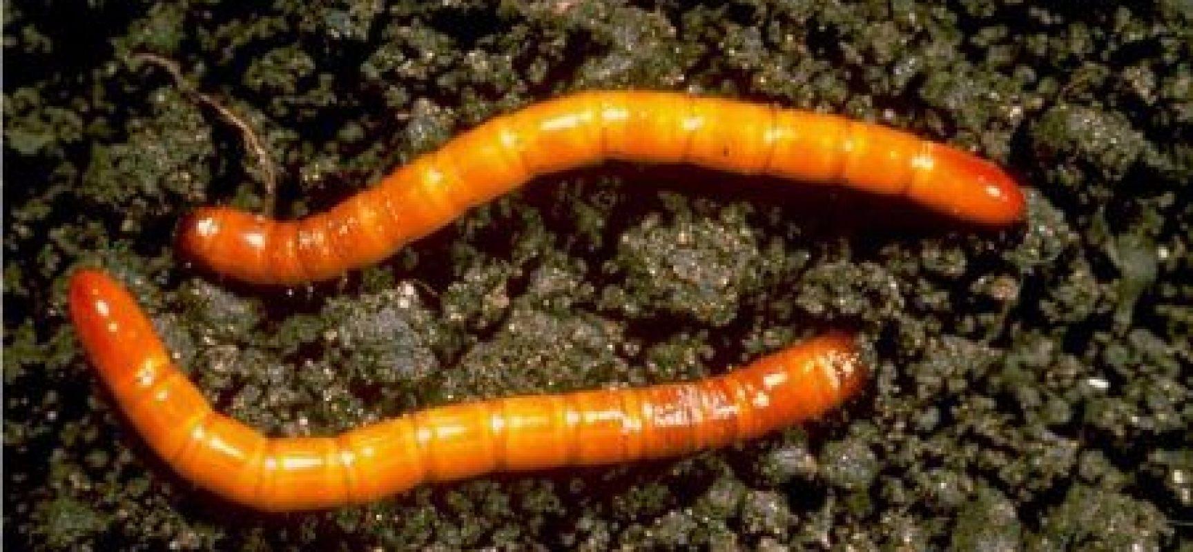 Insetti larve e parassiti dell orto verde azzurro notizie for Divora larve di zanzara