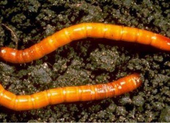 Insetti, larve e parassiti dell'orto