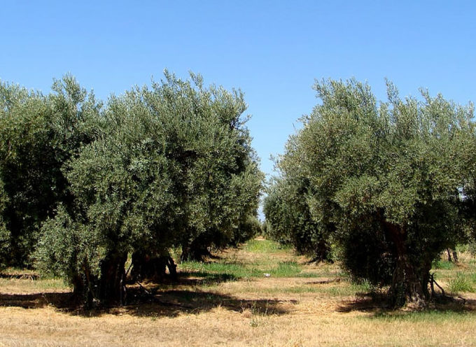 La potatura dell'olivo, tecniche e suggerimenti