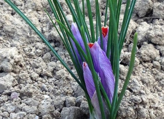 Coltivare lo zafferano nell'orto IN GARFAGNANA