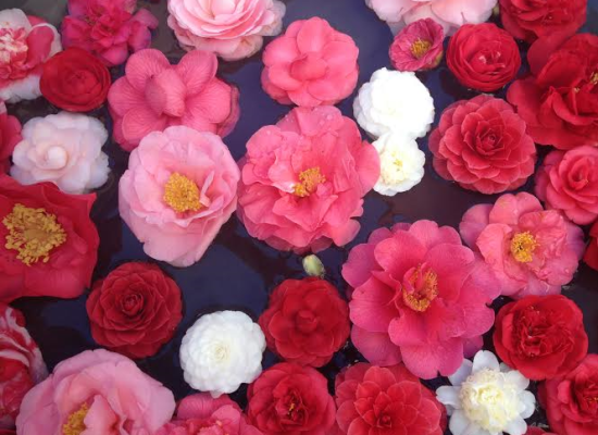 Camelie Locarno dal 21 al 25 marzo 2018 La 21 edizione fra musica e bellezze floreali