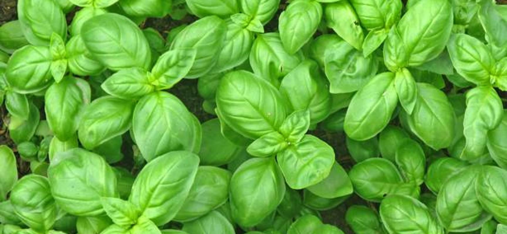 Come coltivare il basilico e le sue proprieta verde for Semina basilico in vaso