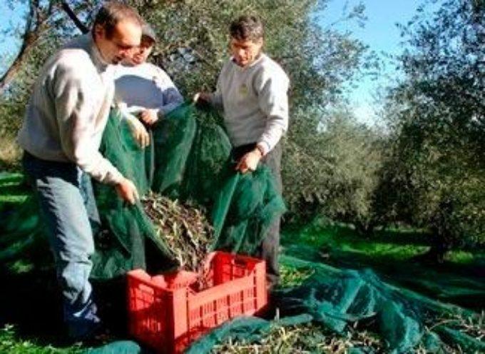 """L'altra faccia del gelo per gli agricoltori, Fedagri: """"Il freddo colpisce anche uno dei nemici dell'olio toscano, la mosca"""""""