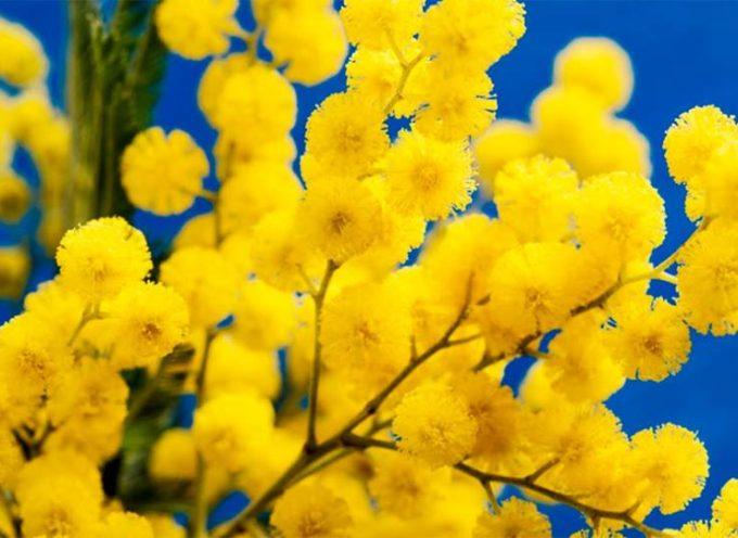 La mimosa dedicata alle donne