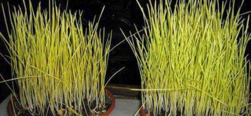 Le antiche tradizioni: i germogli di grano da portare ai Santi Sepolcri del giovedì santo.