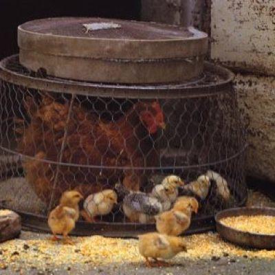 La vita si rinnova, i nuovi nati andranno a rinfoltire il pollaio