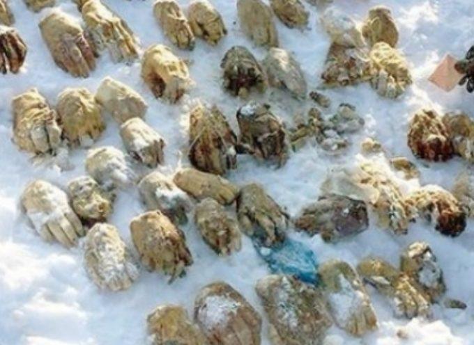 Traffico di organi? 54 mani mozzate ritrovate nella neve. Diverse le piste degli investigatori: dalle punizioni per furti al traffico di organi