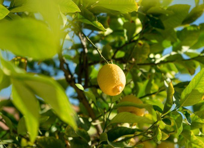 Malattie della pianta di limone: quali sono le più gravi e come curarle