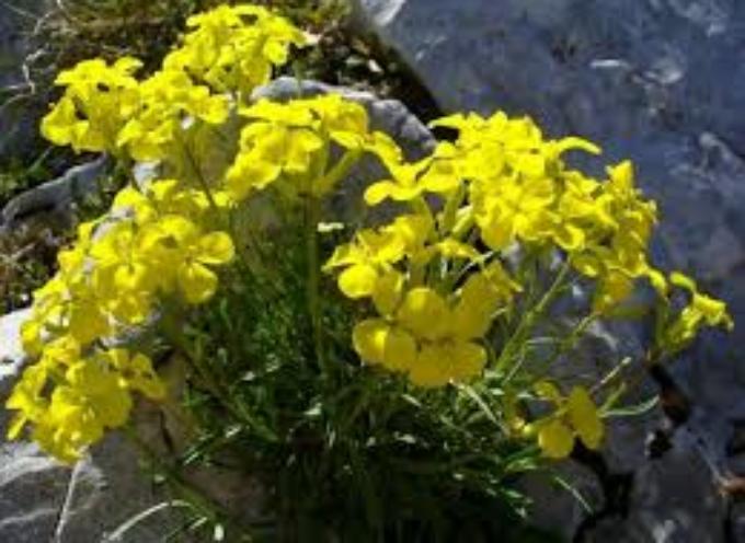 Erisimo: l'erba dei cantanti ottima per le infiammazioni alla gola