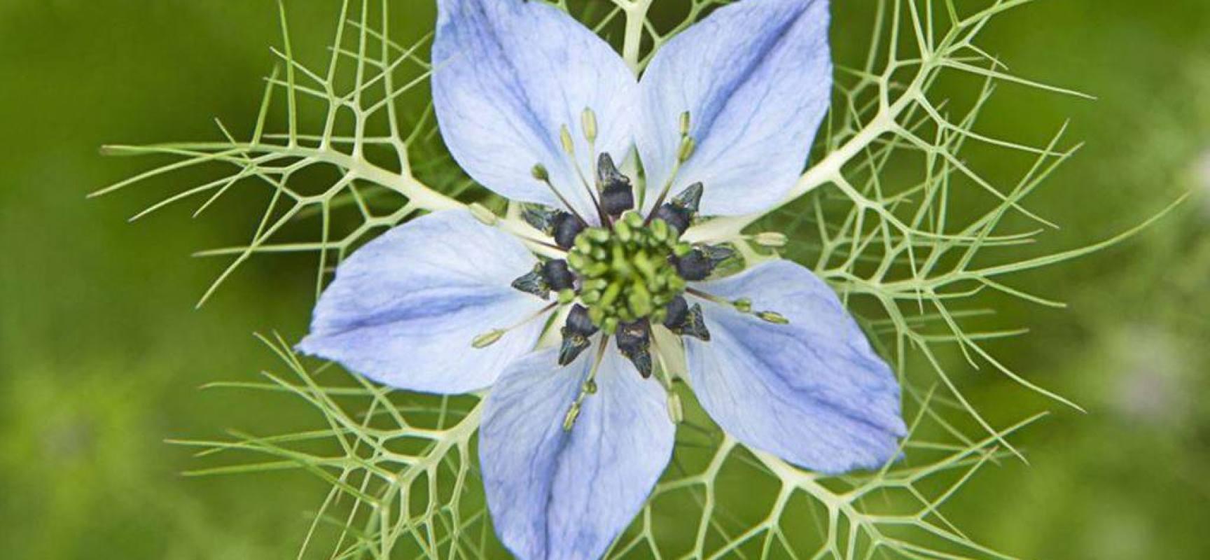 la NIGELLA una pianta erbacea