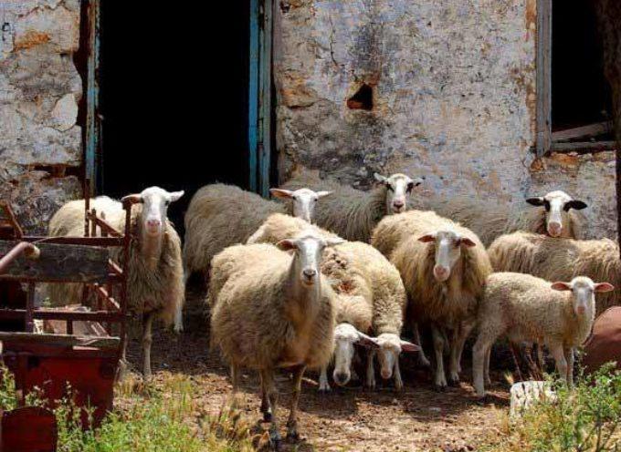 E' tempo di tosare le pecore.