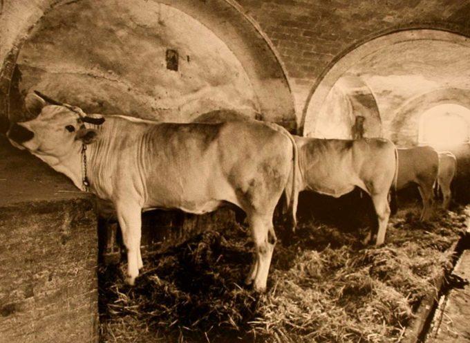La stalla dei bovini… che tempo meraviglioso