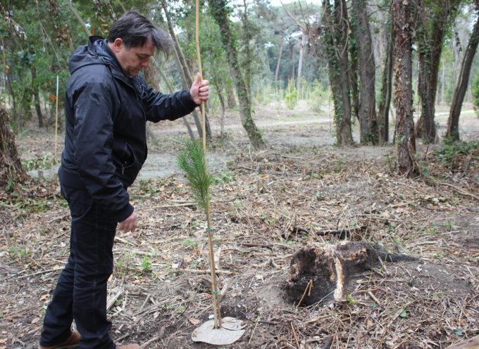 Pietrasanta: Giovannetti in Versiliana, riforestazione (rimosse e sotterrate 150 ceppaie) alle battute finali