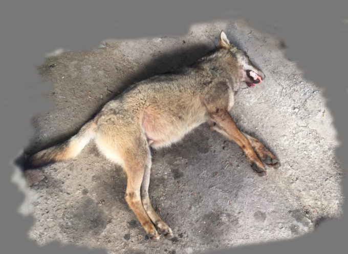Borgo a Mozzano, auto investe un lupo sulla Fondovalle