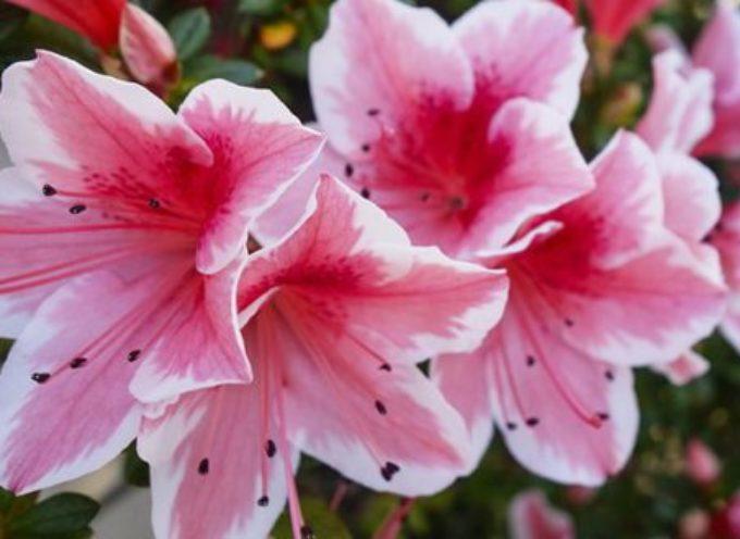La Primavera Borghigiana entra nel vivo; week end con le azalee