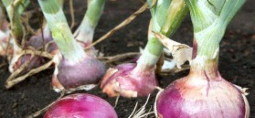 Le cipolle dalla semina alla raccolta