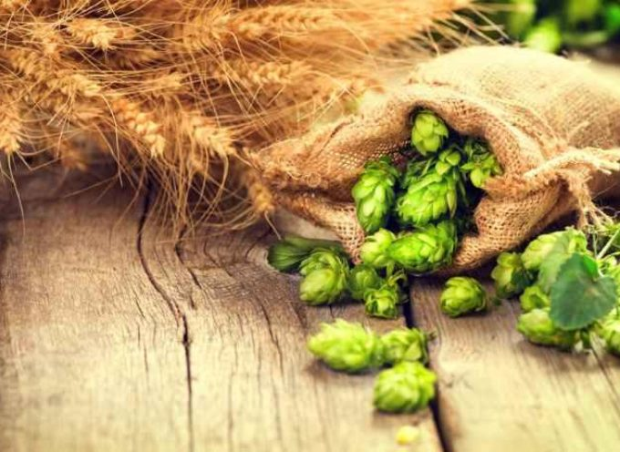 Luppolo: benefici, proprietà e usi al di là della birra
