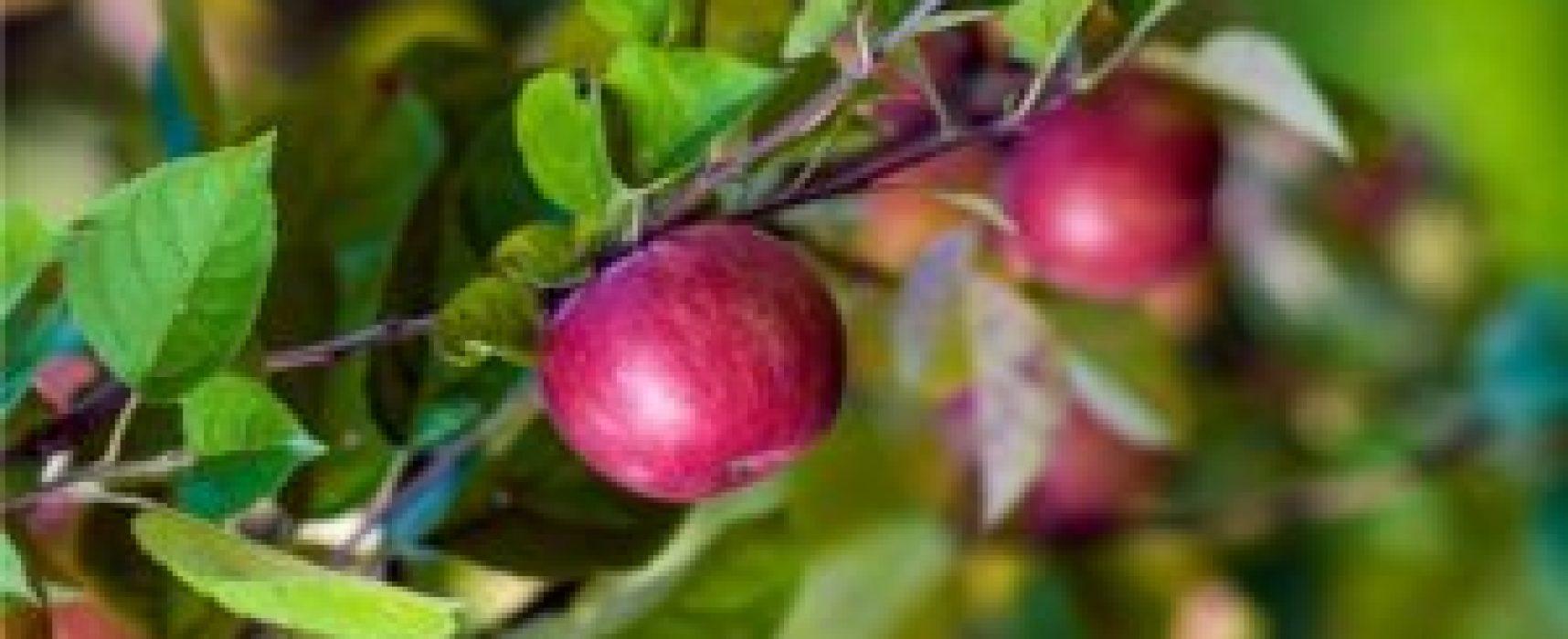 La coltivazione del melo