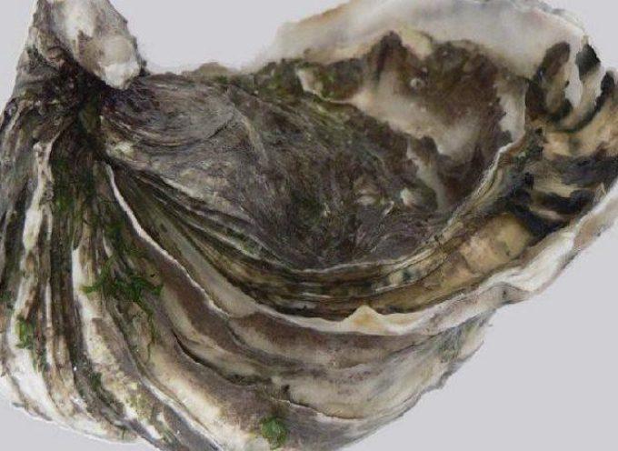 Allerta ostriche: ritirate per rischio gastroenterite