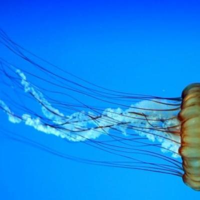 Caldo, mare e meduse: allarme in Italia per alcune specie potenzialmente mortali