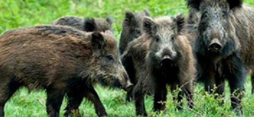 Allarme cinghiali ad Altopascio, Marchetti (FI): «Fauna selvatica fuori controllo