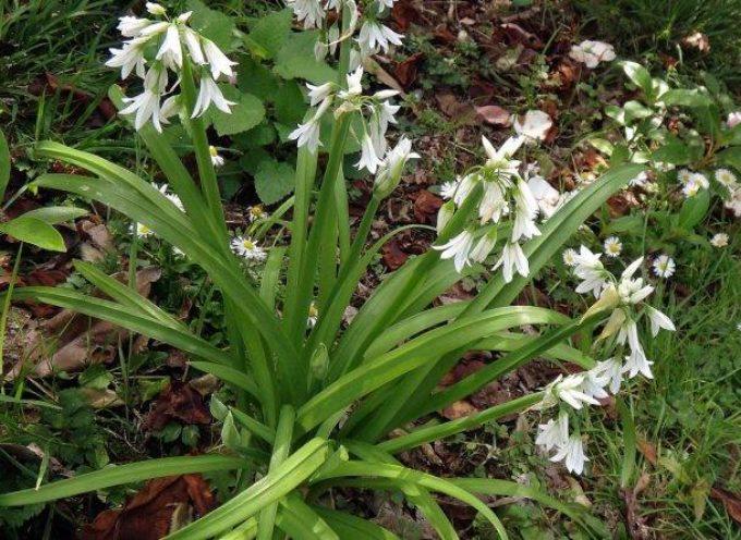 L'aglio triquetro (Allium triquetrum L.) è una pianta della famiglia delle Liliaceae